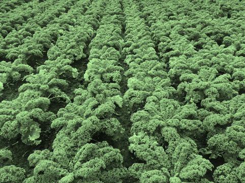 Grønkålsmark
